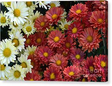 Red White And Yellow Fall Flowers Canvas Print