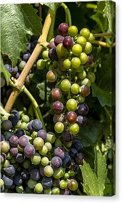 Red Wine Grape Colors In The Sun Canvas Print by Teri Virbickis
