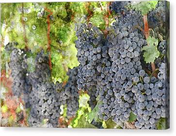 Red Wine Grapes In A Bunch On The Vine Canvas Print by Brandon Bourdages