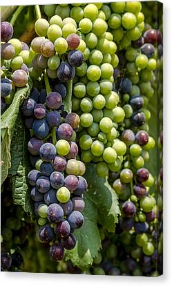 Red Wine Grapes In The Vineyard Canvas Print by Teri Virbickis