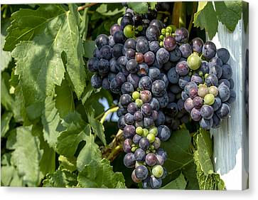 Red Wine Grapes On The Vine Canvas Print by Teri Virbickis