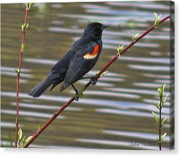 Red Wing Black Bird Canvas Print