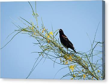 Red Winged Black Bird On A Retama Tree Canvas Print by Debra Martz