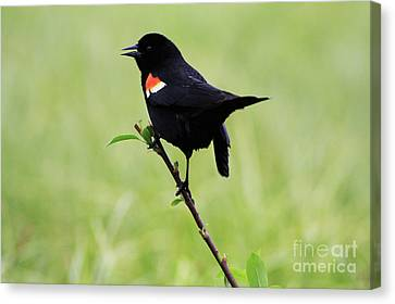Red Winged Blackbird Canvas Print by Alyce Taylor