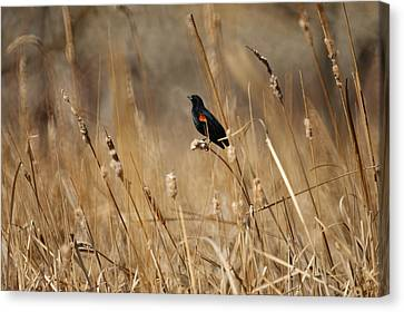 Red Winged Blackbird Canvas Print by Ernie Echols