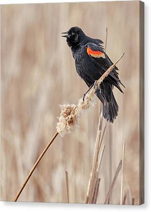 Male Red-winged Blackbird In A Minnesota Marsh Canvas Print by Jim Hughes