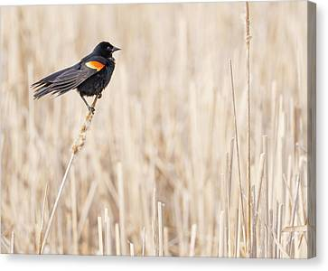Cattail Canvas Print - Red-winged Blackbird In A Minnesota Wetland by Jim Hughes