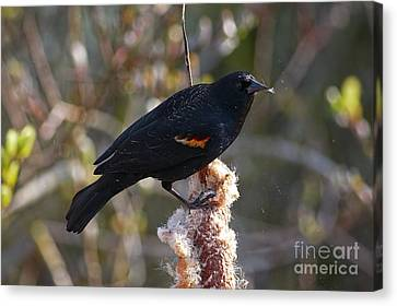 Canvas Print featuring the photograph Red-winged Blackbird On Cattail Reed by Sharon Talson