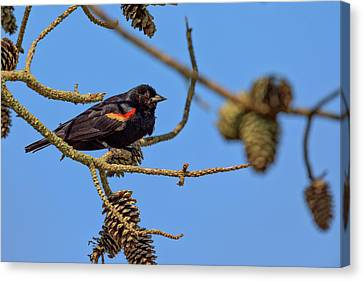 Red-winged Blackbird  Canvas Print by Rick Berk