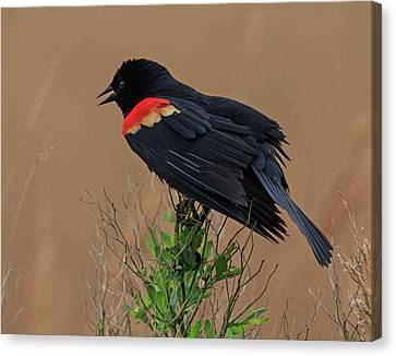 Canvas Print featuring the photograph Red Winged Blackbird by Robert Pilkington