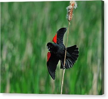 Red-winged Blackbird Canvas Print by Tony Beck