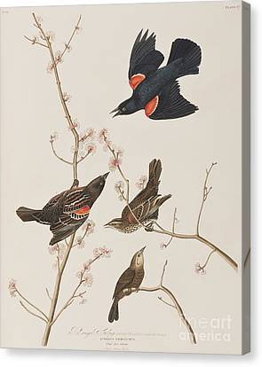 Red Winged Starling Or Marsh Blackbird Canvas Print by John James Audubon
