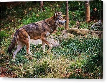 Nature Center Canvas Print - Red Wolf On The Prowl by John Haldane