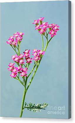 Red Yarrow Canvas Print by Steve Augustin