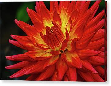 Decorating Canvas Print - Red Yellow Dahlia 3 by Garry Gay