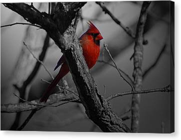 Redbird Canvas Print by Shawn Wood