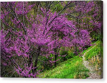 Canvas Print featuring the photograph Redbud And Path by Thomas R Fletcher