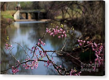 Redbuds And An Old Bridge Canvas Print