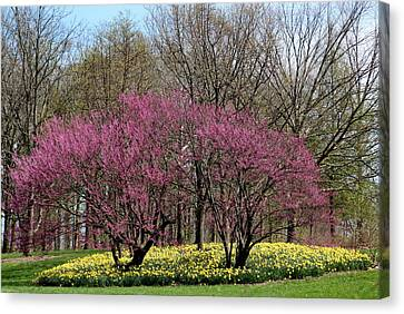 Redbuds And Daffodils Canvas Print by Rosanne Jordan