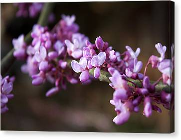 Canvas Print featuring the photograph Redbuds In March by Jeff Severson