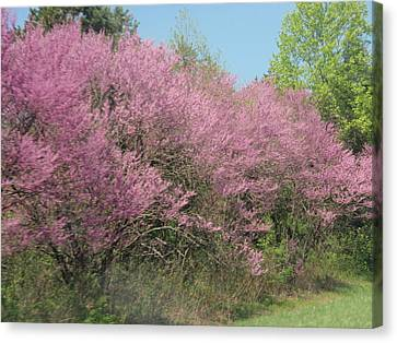 Canvas Print featuring the photograph Redbuds In West Virginia by Beth Akerman