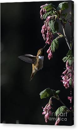 Redcurrant Rufous Canvas Print by Moore Northwest Images