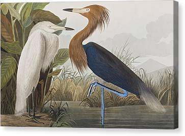 Reddish Egret Canvas Print by John James Audubon