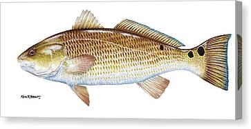 Redfish Canvas Print by Kevin Brant
