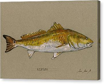 Drawing Canvas Print - Redfish Painting  by Juan  Bosco