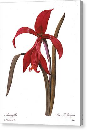 Redout�: St. James Lily Canvas Print by Granger