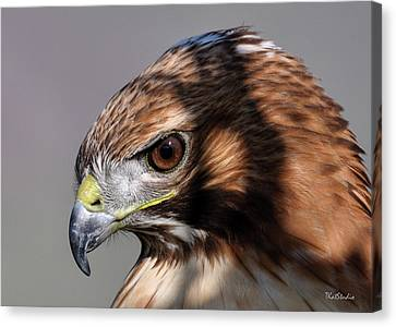 Redtail Hawk Canvas Print