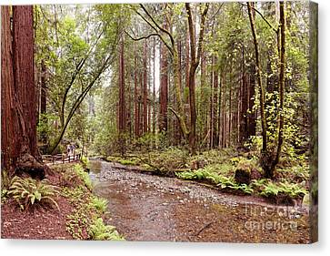 Redwood Creek Peacefully Flowing Through Muir Woods National Monument - Marin County California Canvas Print by Silvio Ligutti
