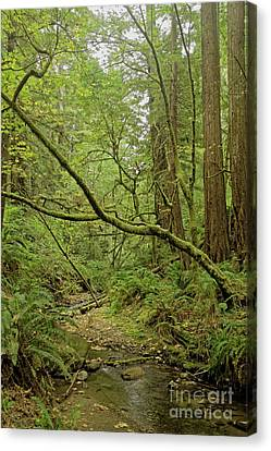 Canvas Print - Redwood Forest Dream by Natural Focal Point Photography