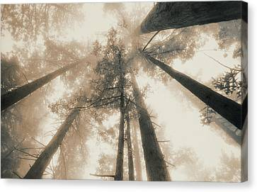 Redwood Forest, Northern California, Usa Canvas Print by Mel Curtis