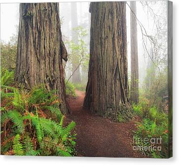 Redwood Trail Canvas Print