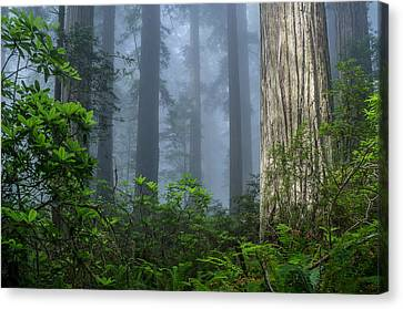 Redwoods In Blue Fog Canvas Print