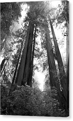 Redwoods In The Fog Canvas Print by Loree Johnson