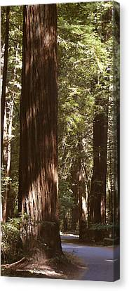 Redwoods Canvas Print by Mike McGlothlen
