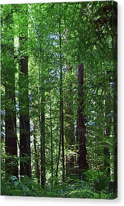 Redwoods No. 3-1 Canvas Print
