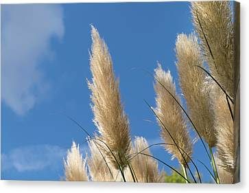 Reeds Against Sky Canvas Print