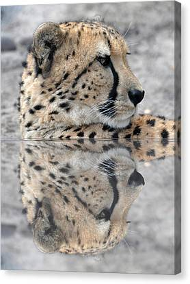 Reflected Cheetah Canvas Print by Teresa Blanton