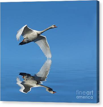 Reflected Swan Canvas Print