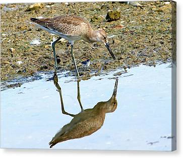 Reflecting On A Willet Canvas Print by Kala King