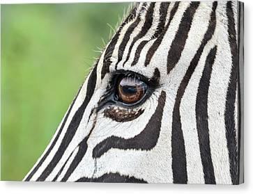 Reflection In A Zebra Eye Canvas Print