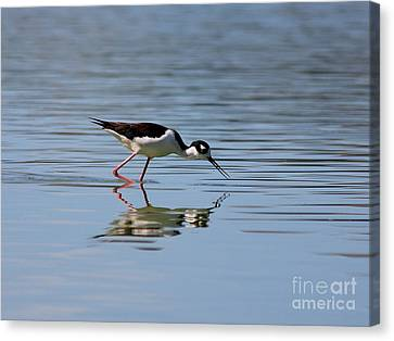 Reflections Of A Black Necked Stilt Canvas Print by Wingsdomain Art and Photography