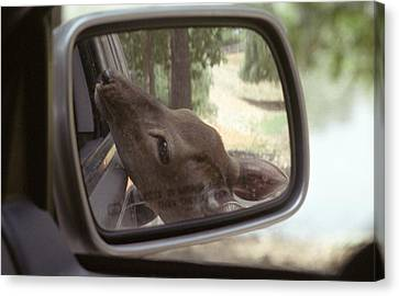 Canvas Print featuring the photograph Reflections Of A Deer by Wanda Brandon
