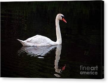 Reflections Of A Swimming Swan Canvas Print by Clayton Bruster