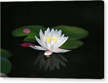 Reflections Of A Water Lily Canvas Print by Trina  Ansel