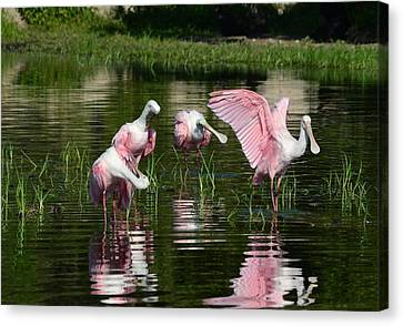 Reflections Of Grandeur- Roseate Spoonbills Canvas Print