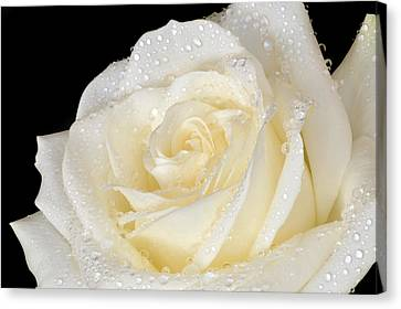 Refreshing Ivory Rose Canvas Print